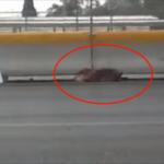 Donna Coraggiosa Si Avventura Su Di Una Trafficata Autostrada Messicana Per Soccorrere Un Cane Ferito.